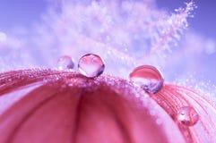 水滴在轻的太阳特写镜头宏指令的一根蓬松羽毛降露在红色紫色被弄脏的背景 免版税库存照片