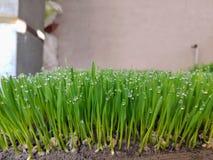 水滴被凝聚在wheatgrass 库存图片