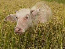 水牛产犊 免版税库存照片