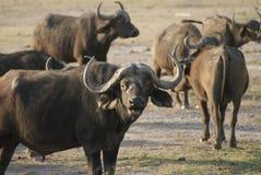 水牛吃 图库摄影