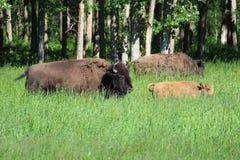 水牛和幼小小牛通过高草走 免版税库存照片