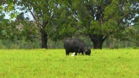 水牛和牛背鹭在大草原 影视素材