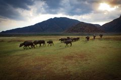 水牛在草坪走 图库摄影
