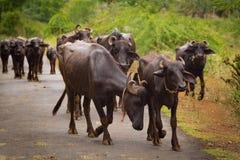 水牛在道路走 免版税库存图片