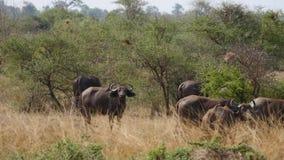 水牛城在非洲大草原吃草 影视素材