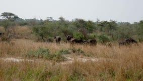 水牛城在非洲大草原灌木吃草  影视素材