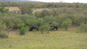 水牛城在非洲大草原的灌木附近吃草 股票视频