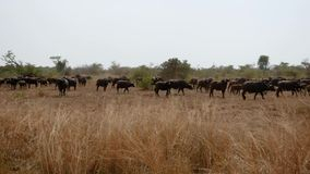 水牛城大牧群在牧场地在非洲狂放的大草原的布什 影视素材