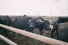 水牛城奶牛场,动物,在露天笔的牛 免版税库存图片