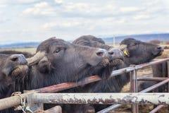 水牛城奶牛场,动物,在露天笔的牛 库存照片