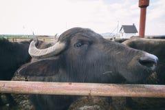 水牛城奶牛场,动物,在露天笔的牛 免版税图库摄影