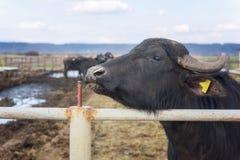 水牛城奶牛场,动物,在露天笔的牛 免版税库存照片