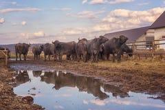水牛城奶牛场,动物,在露天笔的牛 库存图片