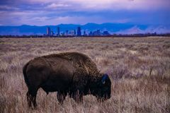 水牛城日落在丹佛,科罗拉多 免版税库存照片