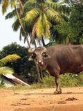 水牛城顶头射击 看见在印度 图库摄影
