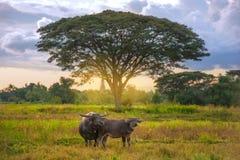 水牛夫妇在领域的在与阳光的大树前面 库存照片