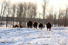 水牛步行牧群在冷的冬天 免版税图库摄影
