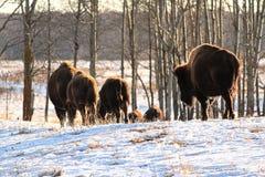 水牛步行牧群在冷的冬天 免版税库存照片