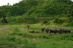 水牛牧群在温暖的黄昏太阳的在Mrauk U,缅甸 免版税库存图片