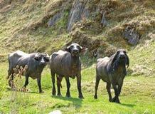 水牛牧群水 库存照片