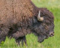 水牛特写镜头在Custer国家公园在南达科他 免版税库存图片