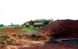 水牛群在草哺养 库存照片