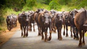 水牛群步行沿着向下路 免版税库存图片