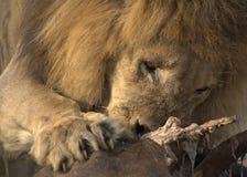 水牛胴体肉狮子 免版税库存照片