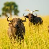 水牛,在大草原默奇森国家公园,乌干达 库存照片