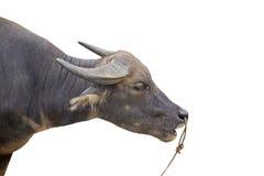 水牛 免版税库存照片