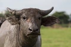水牛 免版税库存图片