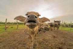 水牛 免版税图库摄影