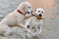 水猎狗,在一个红色衣领的金毛猎犬,有瓶的拉布拉多 免版税库存图片
