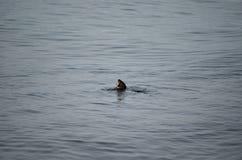 水獭在海湾 免版税库存照片