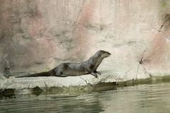 水獭坐一个岩石在动物园里 免版税库存照片