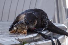 水獭繁忙的吃鱼 库存图片
