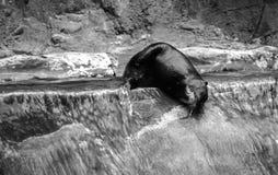 水獭 免版税库存照片