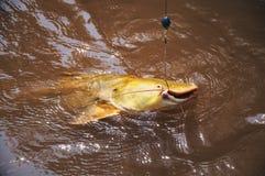 水的一位渔夫钩的鱼浮出水面 叫作J的鱼 免版税图库摄影