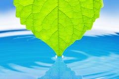 水的绿色多汁植物叶子。 图库摄影