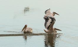 水的表面上的三白色鹈鹕 免版税库存图片