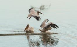 水的表面上的三白色鹈鹕 库存照片