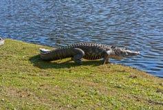 水的鳄鱼标题 免版税库存图片