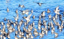 水禽群基于岸的 图库摄影