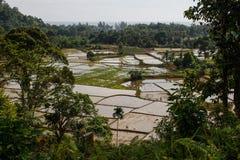 水稻领域在苏门答腊海岛上的印度尼西亚  免版税库存照片