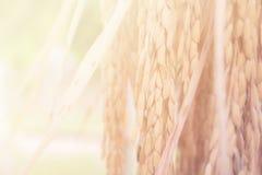 水稻 水稻软的迷离背景的耳朵 库存照片