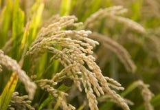水稻 免版税库存照片