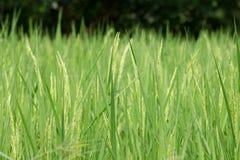 水稻 免版税图库摄影