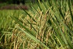 水稻 库存照片