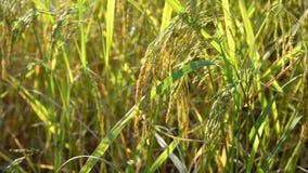 水稻 股票视频