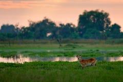水羚属vardonii, Puku, waliking在水中的动物在早晨日出期间 森林哺乳动物在栖所, Moremi, Okavango, Botswan 免版税库存照片